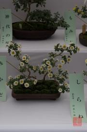Japan 2012 - Shibuya - Meiji Shrine - Bonsai Flower I