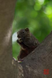 Taiwan 2012 - Taipei - Peace Memorial Park - Eichhörnchen  - Mahlzeit
