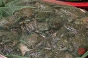 Chongqing 2013 - Market - Frogs