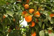 Seville 2015 - Orange Tree