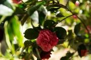 Taiwan 2015 - Alishan - Red Blossom I