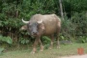 Phong Nha 2016 - Water buffalo