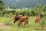 Phong Nha 2016 - Cows